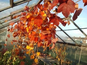 grapevine in autumn