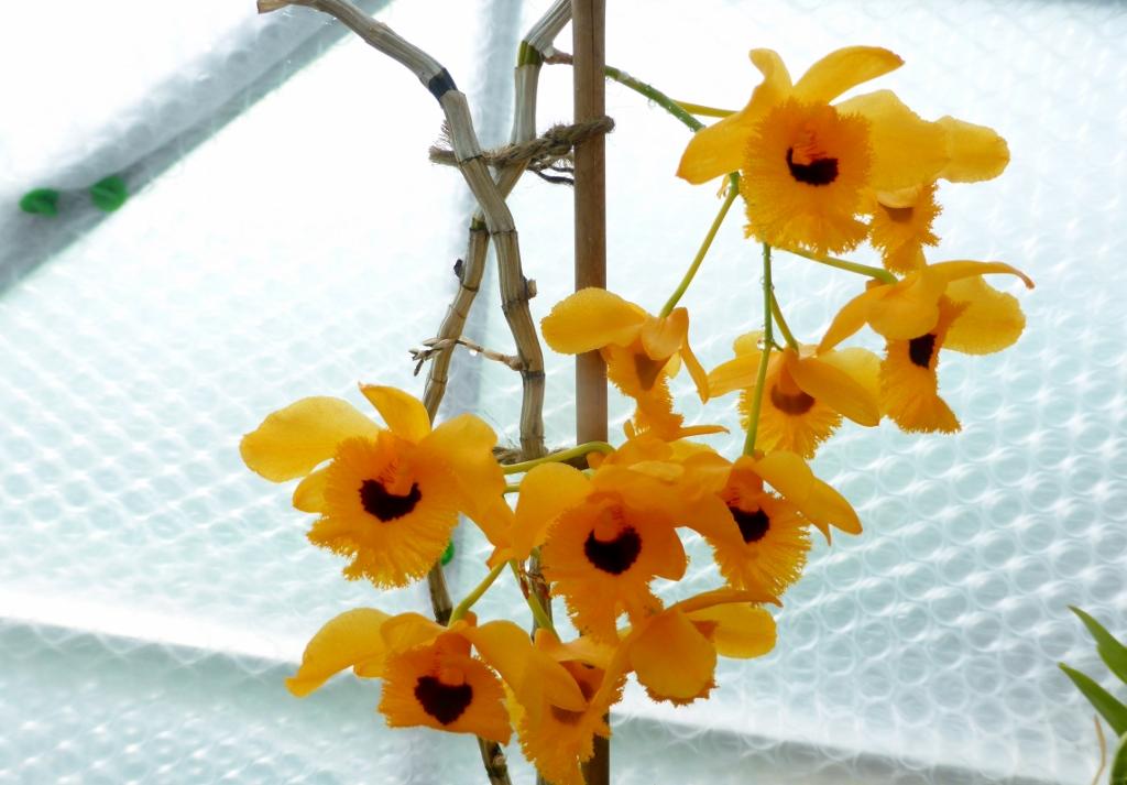 Dendrobium fimbriatum oculatum close-up