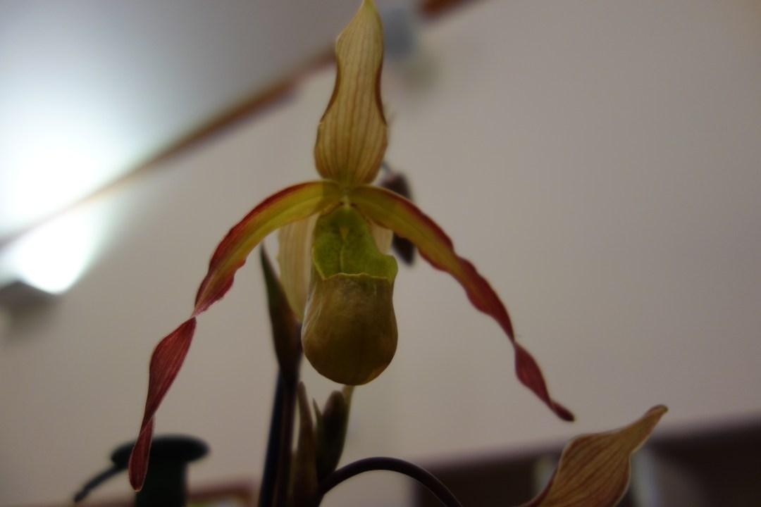 September Phragmipedalum hybrid Novice
