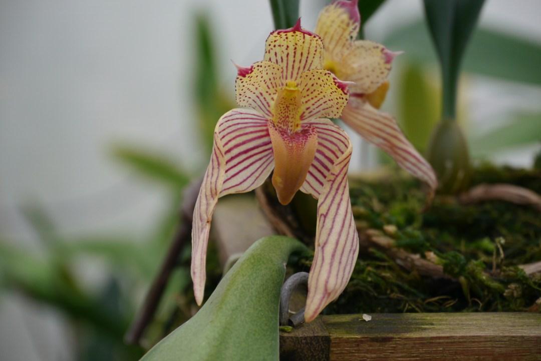 Bulb. bicolor (2)