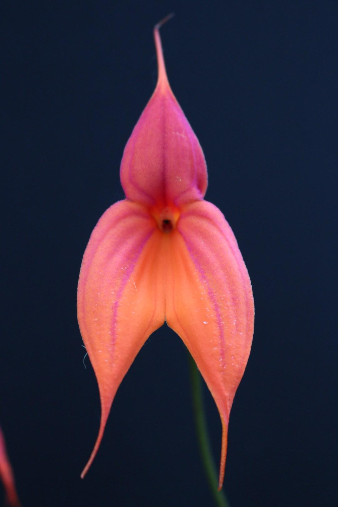 Masd. veitchiana flower