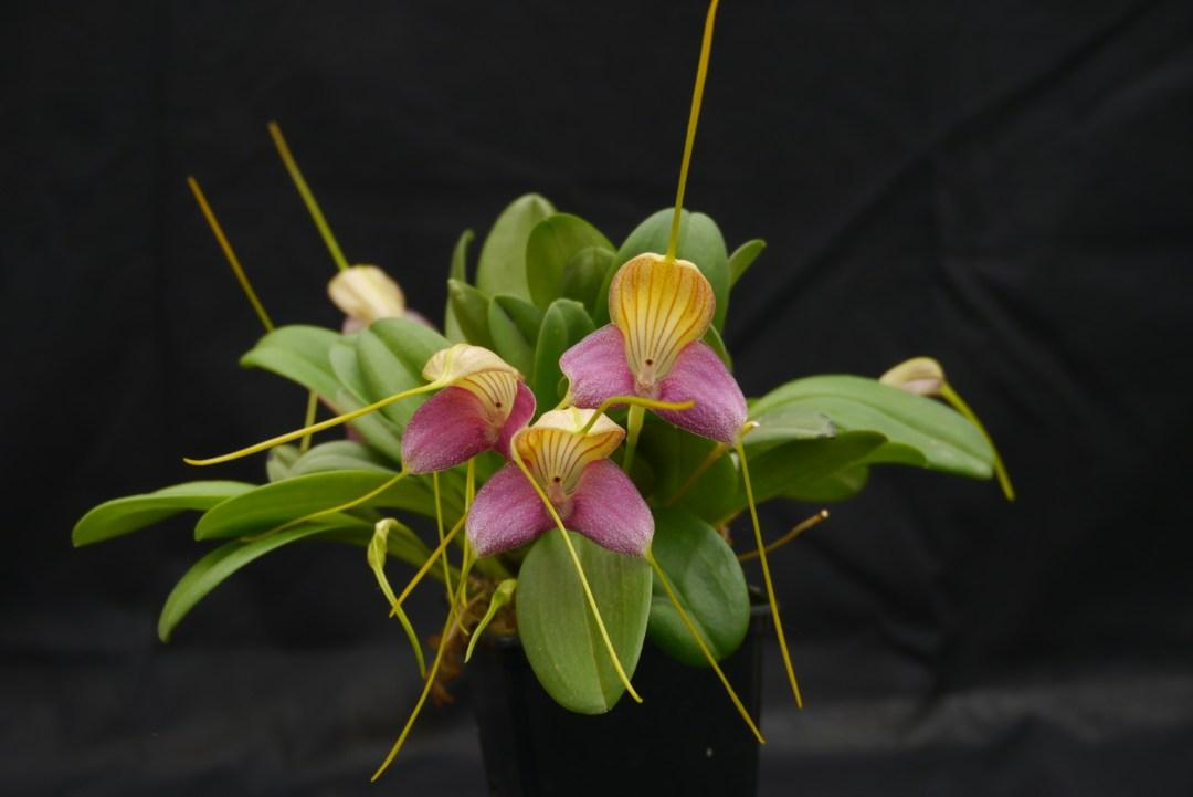 Masdevallia glandulosa (2)