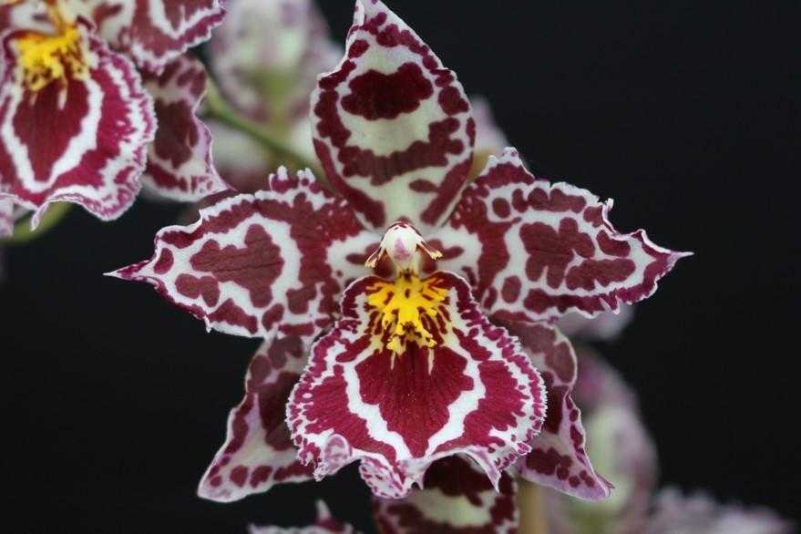 Odont. Margaret Holm flower