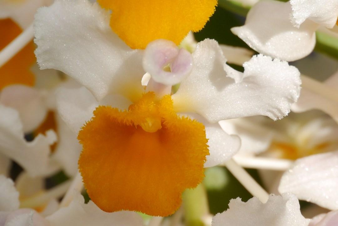 Dendrobium thyrsiflorum flower Andy Gissing Class 3 HC