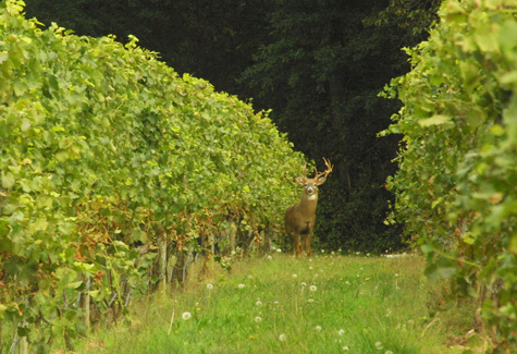 BARBARAELLEN KOCH FILE PHOTO | Southold Town will host a deer management forum Sept. 26.
