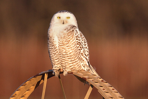MICHAEL LOTITO PHOTO | The snowy owl is best known for its white feathers and catlike yellow eyes. It's also the continent's heaviest owl, weighing between three and six pounds. Adults have a wingspan between four and five feet. They've been spotted as far south as Florida. This bird was photographed last month at a Jamesport farm.