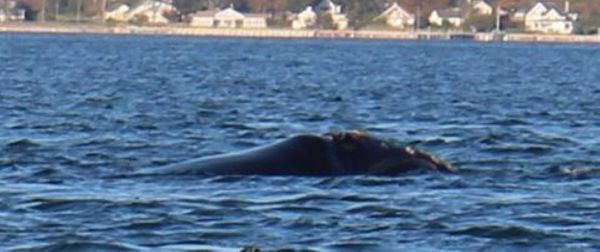 A rare North Atlantic right whale was sighted in Greenport Thursday. (Credit: Riverhead Foundation for Marine Research and Preservation)