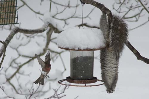 KATHARINE SCHROEDER PHOTO | An acrobatic squirrel snacks from a Cutchogue feeder.