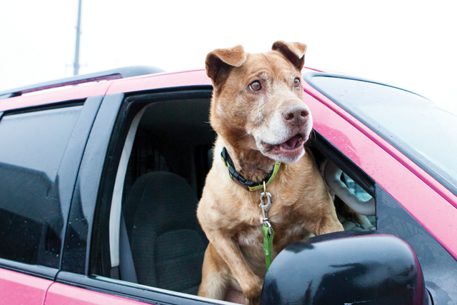 Seeing Cinnie, a 10-year-old dog that had been in the Southold Animal Shelter longer than any other, breathe in the air and feel the rain drops on her trip to her forever home in Morristown, Pa. was incredibly moving. (Credit: Katharine Schroeder)