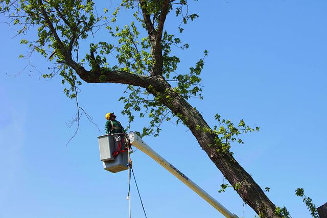 A village work crew take down the tree on Third Street in Greenport in 2012. (Credit: Katharine Schroeder)