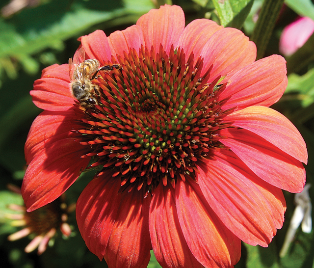 Butterflies aren't the only creatures welcome in the new garden. Here, a bee feasts on an enchinachea cone flower. (Credit: Barbaraellen Koch)