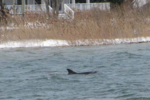 SUSAN SMITH PHOTO | The male dolphin swimming at the eastern end of Goose Creek on Jan. 3, nine days before it was found dead.