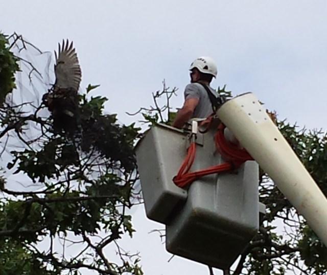 Jonathan Shipman going up to free the hawk Sunday afternoon. (Credit: John Zurawski, courtesy)