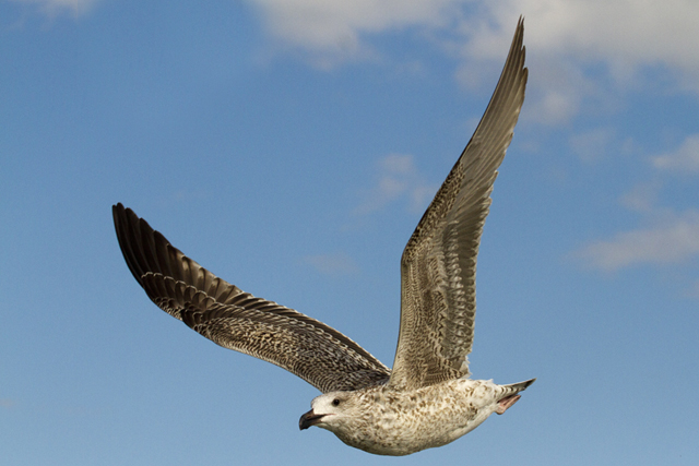 juvenile_great_black_backed_gull