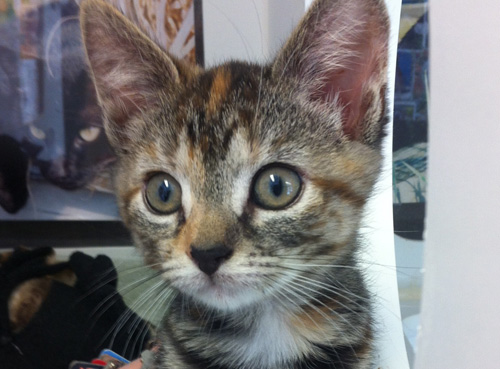 Cats of all ages are looking for loving home at the NFAWL animal shelter in Peconic. (Credit: Carrie Miller)
