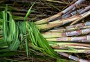New Sustainable Sugar Project Uses Blockchain to Boost Sugarcane Industry