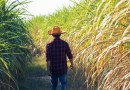 Brazilian Sugarcane Farming Could Expand Up to 5 Million Hectares by 2030 Due to Ethanol Demand