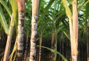 Brazil Researchers discover Major Discovery in Sugarcane Red Rot Disease