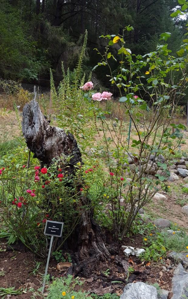 pink roses blooming in the California School of Herbal Studies herb garden