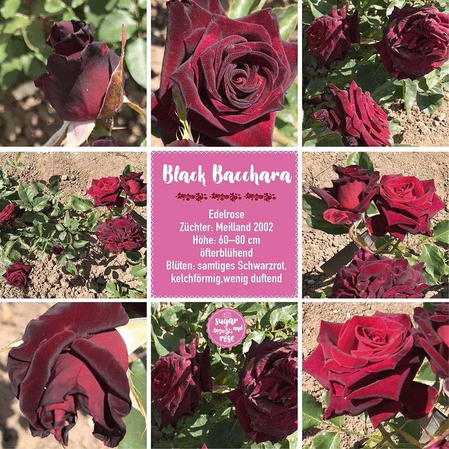 Black Bacchara
