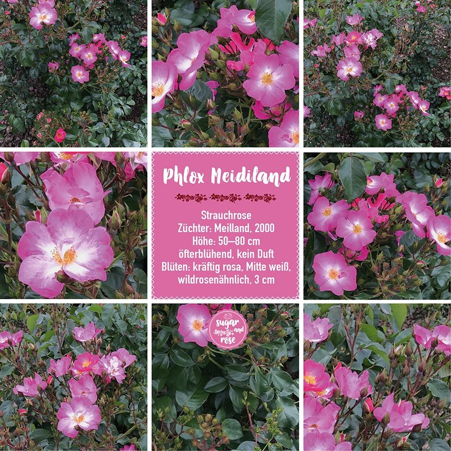 Phlox Meidiland