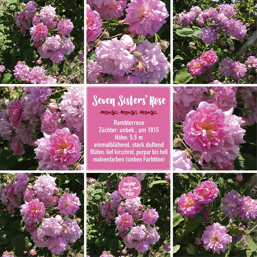 Seven Sisters Rose