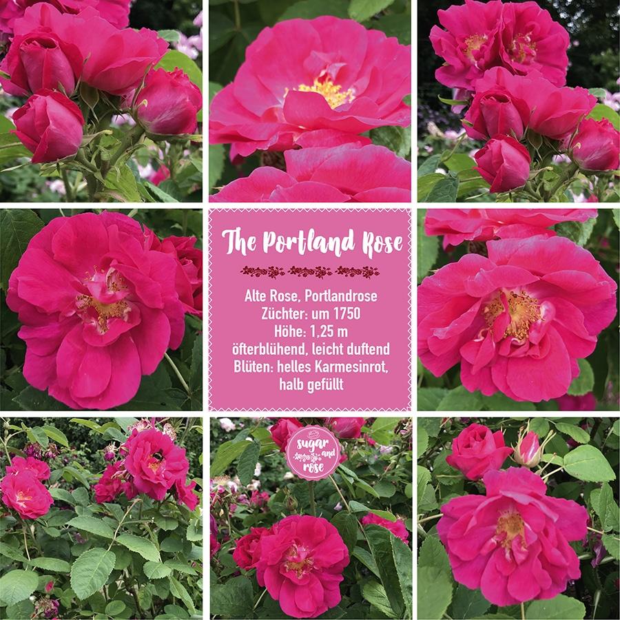 The Portland Rose