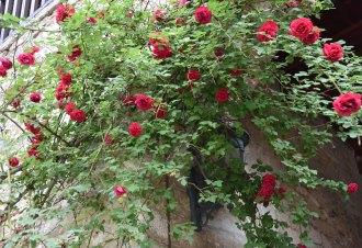Rosen an der Klosterwand
