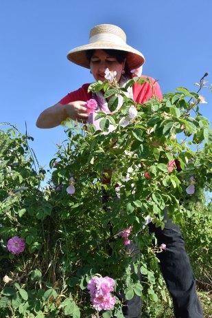 Sugar&Rose beim Rosenpflücken