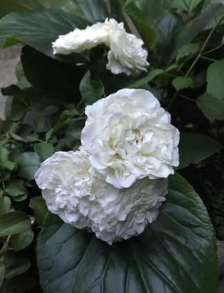 White-Meidiland-1