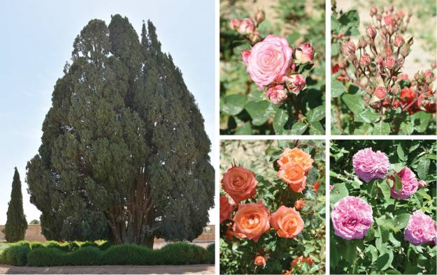 4000-jährige Zypresse, Persien und Rosen