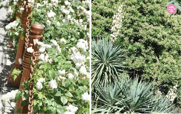 Schneewittchenrose, Persien & Rosen
