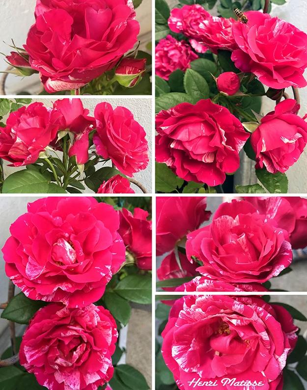 Sechs Abbildungen der pink und weiß gestreiften Malerrose Henri Matisse am Rosenstock. Die Rose hat zahlreiche, sehr unterschiedlich weiß gefleckte Blüten.