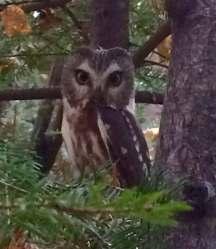 Tracking Minnesota's Owls - 4/7 @ Sugarloaf Cove Nature Center | Schroeder | Minnesota | United States