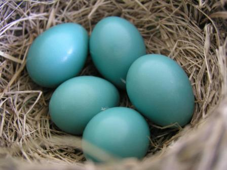 robin eggs 5 compressed