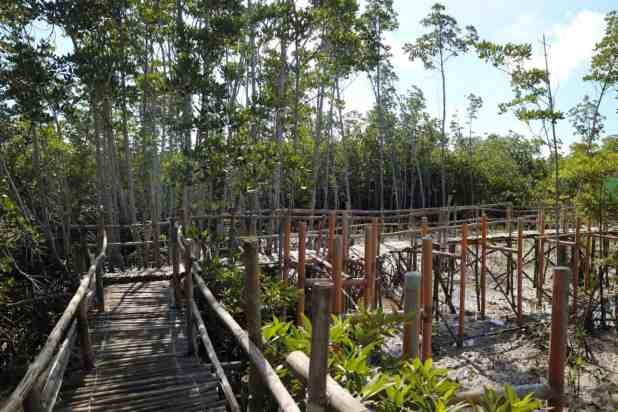 mangrove bantayan