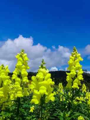 Sunflower Farm Dalaguete (13)