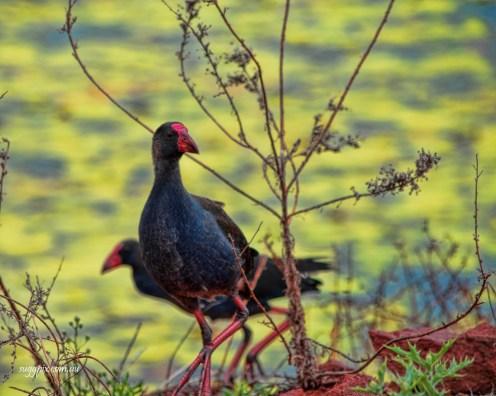 Water Fowl - Suggpix