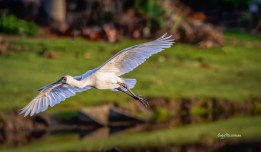 Royal Spoonbill, Gold Coast, Australia