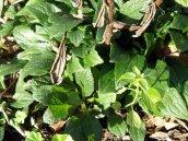 goldenrod leaves