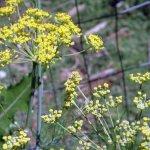 wild fennel blooms