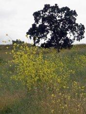 Oak with mustard