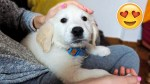 【犬猫動物動画まとめ】My Cute Golden Retriever Puppy Bailey