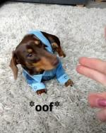 【犬猫動物動画まとめ】Dog Wearing Denim Shirt Plays Dead When Owner Shows Finger Gun