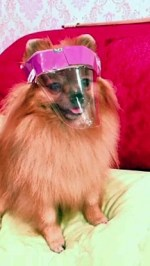 【犬猫動物動画まとめ】Pomeranian puppy wears homemade pink Covid-19 face mask