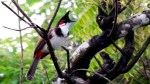 【犬猫動物動画まとめ】Singing Birds 'Birds' Hue Singing A Dual Voice, Viet Nam