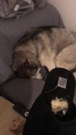 【犬猫動物動画まとめ】Guilty Husky Won't Admit To Chewing Owner's Slipper
