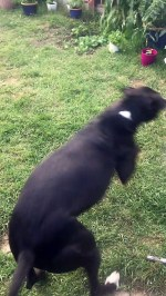 【犬猫動物動画まとめ】Ecstatic Dog Shows Her Backyard Zoomies