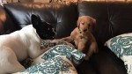 【犬猫動物動画まとめ】French Bulldog Puppy Playing With Golden Retriever Puppy