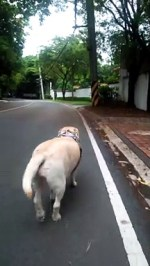 【犬猫動物動画まとめ】Independent Dog Walks Herself